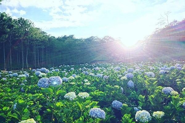 đồi hoa cẩm tú cầu